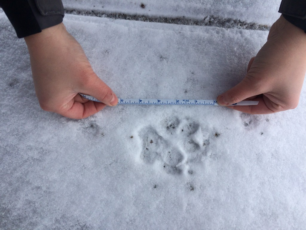 "Measurement of large canid tracks. Note the front and hind track overlap here, which is called ""direct register"", making the animal's trail look like a single tracks in single-file."
