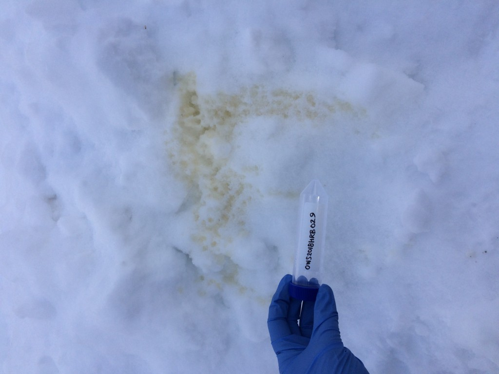 Large urine sample found on the side of a snowbank.