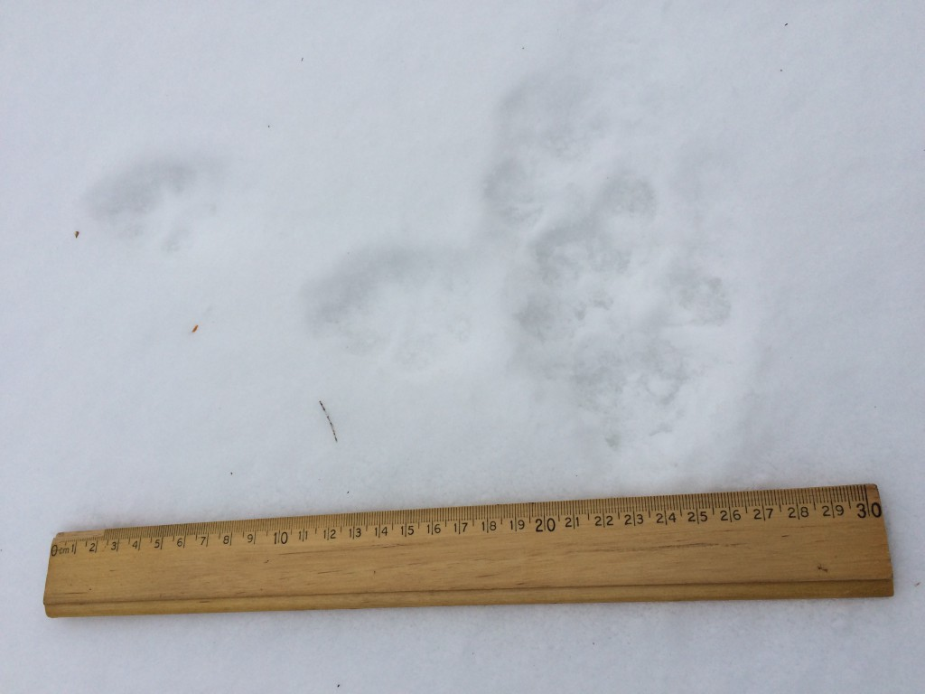 Two tracks intersection: smaller, fuzzier looking fox tracks (horizontal), and larger wolf/coyote tracks (vertical).